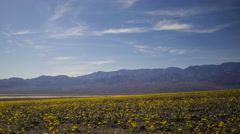 Time Lapse of Wildflower Super Bloom in Death Valley Afternoon -Long Shot- Stock Footage
