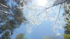 Low angle view of a blooming white plum tree canopy - stock footage