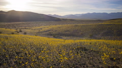 Time Lapse of Wildflower Super Bloom at Sunset in Death Valley -Tilt Up- Stock Footage