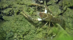 European crayfish (Astacus sp.). Stock Footage