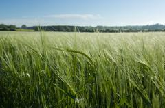 Close up of husks in green wheatfield Stock Photos