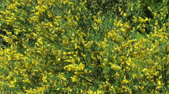 Yellow Genista bush in blossom Stock Footage