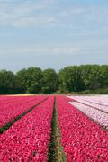Bulb fields with blossoming flowers, Netherlands - stock photo