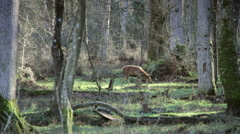 Stag & hinds walk through woods, stag stops & looks at camera Stock Footage