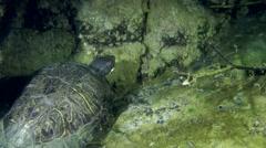 Turtle Pond slider (Trachemys scripta). Stock Footage