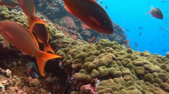 Fantastic dives at the island of ROCA Partida. Stock Footage
