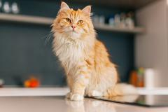 Ginger big cat sitting on a white kitchen table and looking around. - stock photo