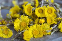 Close up of coltsfoot (tussilago farfara) stems and flowers. Used in herbal - stock photo