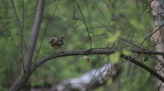 Catbird (thrush) in the wild forest. A baby Blackbird hiding in the bushes. Stock Footage