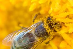 Honey bee covered with pollen - stock photo
