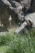 Flowers of White asphodel, Asphodelus albus - stock photo