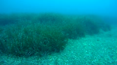 Neptune Grass (Posidonia oceanica). Stock Footage