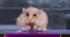 Dwarf hamster nibbles and pouches a dried carrot treat Stock Footage