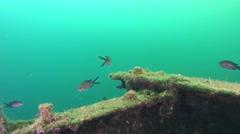 Several Damselfish (Chromis chromis). Stock Footage