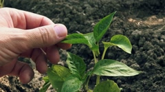 Farmer examines pepper plant in vegetable garden Stock Footage
