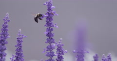 Bumblebee on Purple Flowers  Stock Footage