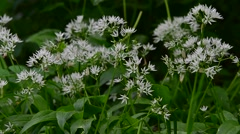 Wild garlic / Ramsons (Allium ursinum) in flower in spring Stock Footage