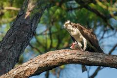 Osprey with a fish. Stock Photos
