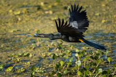 An Anhinga flying over the swamp. Stock Photos