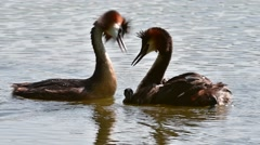 Great crested grebe pair swimming in pond with chicks on the back Stock Footage