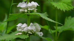 White nettle / white dead-nettle (Lamium album) in flower - stock footage