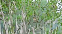 Eurasian reed warbler (Acrocephalus scirpaceus) singing in spring Stock Footage