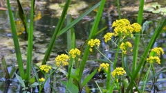 Greater yellowcress / great yellow cress (Rorippa amphibia) in flower Stock Footage