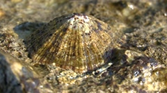 Gastropod mollusk Patella on the coastal rocks. Stock Footage