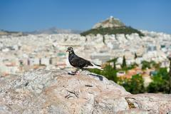 Pigeon at Areopagus hill - stock photo