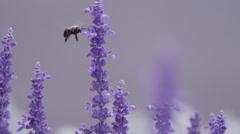 Bumblebee on Purple Flowers Wide Stock Footage