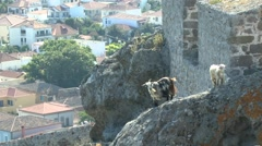 Goats on the ruins of an ancient fortress. Stock Footage