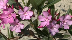 Oleander bush blooming on the background of the hillside. Stock Footage