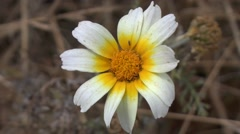 White and yellow flower of the family Asteraceae. Stock Footage