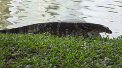 Clouded monitor lizard near  water Stock Footage