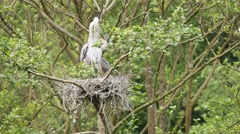 Two Grey Heron (ardea cinerea ) Chicks on a Nest Stock Footage