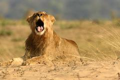 Juvenile lion (panthera leo) with mouth open, Mana Pools National Park, Zimbabwe - stock photo