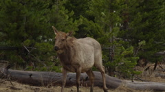 Slow motion cow elk leaving river over broken timber Stock Footage
