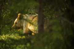 Brown bear (Ursus arctos) in Taiga Forest, Finland Stock Photos