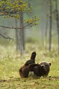 Brown bear cub playing (Ursus arctos) in Taiga Forest, Finland Stock Photos