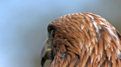 Golden eagle head portrait closeup Stock Footage