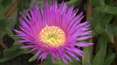 Flowering succulent Carpobrotus. - stock footage