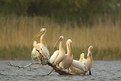 White pelicans (Pelecanus onocrotalus) on log in water Stock Photos