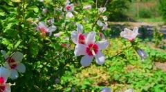 Hibiscus flowers on wind Stock Footage