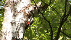 Great spotted woodpeckers male and female taking turns in feeding their chicks. Stock Footage