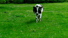 Cow goes through a meadow. - stock footage