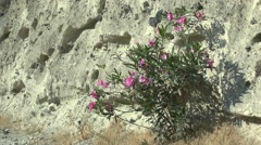 Oleander bush blooming on the background of a mountain slope. Stock Footage