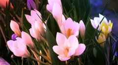 Flowers at sunset time lapse (crocus) - stock footage