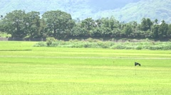 Flag waving in a green field with rice stalks swaying in the wind, 4K Stock Footage