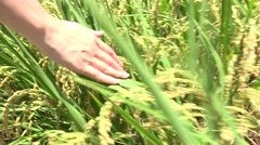 Hand touching rice in a rice field, 4K Stock Footage