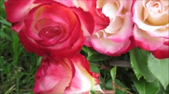 Roses, beautiful and fresh after rain, close up Stock Footage